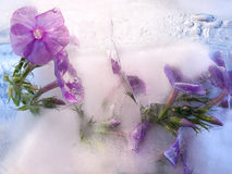 Frozen   flower of         phlox Royalty Free Stock Photo