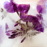 Frozen flower of phlox. Frozen fresh beautiful flower of phlox and air bubbles in the ice cube stock photo