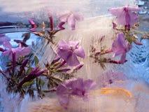 Frozen   flower of         phlox Stock Photos