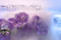 Frozen   flower of         phlox Royalty Free Stock Photos