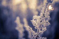 Frozen flowers and sunset. Frozen flower in purple tone, very shallow focus Stock Photos