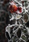 Frozen flower. Rose in frost. Rose winter. Hoarfrost stock photo