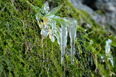 Frozen flower. Small green frozen plant with icicle Royalty Free Stock Images