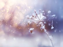 Frozen flower twig in beautiful winter snowfall ackground. Frozen flower twig in beautiful winter snowfall crystals glitter pastel color background royalty free stock images
