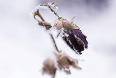Frozen flower. Winter background: flower covered in frost Stock Photo