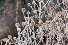 Frozen Flowers. Dried flowers decorated by hoarfrost royalty free stock photo