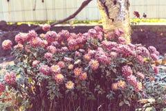 Frozen flowers. Beautiful pink frozen flower late autumn in morning stock image