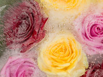 Frozen flowers beautiful roses Stock Image