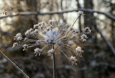 Frozen flowers Royalty Free Stock Photos