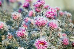 Frozen flowers covered with frost. Autumn blooming purple chrysanthemum flowers covered with snow. frozen flowers covered with frost Stock Photos