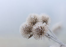 Frozen Flowers of January Stock Photography