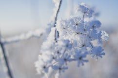Frozen flowers. Umbelliferae family royalty free stock images