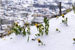 Frozen flowers under the snow on blurred background. Frozen floret. royalty free stock photo