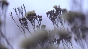 Frozen flowers under snow in winter dry plants with rime close up