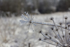 Frozen flowers in winter close-up Royalty Free Stock Photos