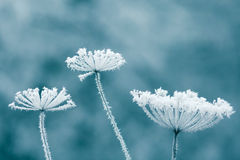Frozen flowers. In winter forest Royalty Free Stock Photography