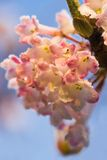 Frozen flowers in wintersun. Frosted flowers of pink snowball in winter sun with blue sky Stock Photo