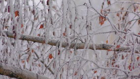 Frozen fog on tree branches  resembling icy flowers stock video footage