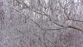 Frozen fog on tree branches  resembling icy flowers stock video