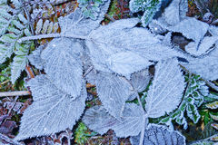Frozen foliage Royalty Free Stock Image