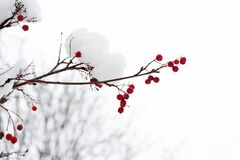 Free Frozen Food. Climate Control. Seasonal Berries. Christmas Rowan Berry Branch. Hawthorn Berries Bunch. Rowanberry In Snow Stock Photo - 169219500
