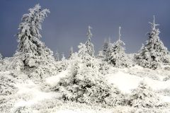 In the frozen forest. Frozen pine-trees somewhere in Ciucas Mountains,Romania Stock Images