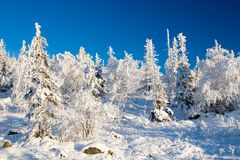Frozen forest alighted by sunset. Frozen wilderness forest alighted by sunset. Blue clear sky on background royalty free stock images