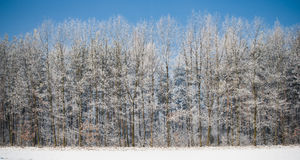 Frozen forest with blue sky above panorama Royalty Free Stock Photo