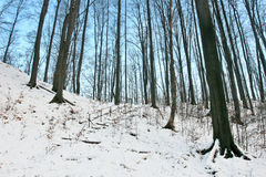 Frozen forest winter with blue evening sky. White snowed forest slope detail Royalty Free Stock Image