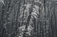 Frozen forest in winter Royalty Free Stock Image