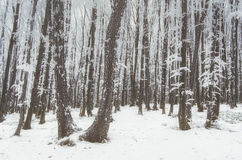 Frozen forest in winter with snow Stock Photography