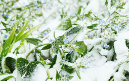 Frozen forget-me-not flowers covered with snow after blizzard Stock Photos