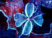 Frozen four leaf clover Stock Photo