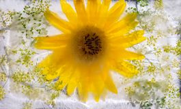 Frozen  fresh beautiful   flower of sunflowerand air bubbles in Stock Image