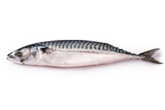 Frozen fresh mackerel Clipping path Royalty Free Stock Photography