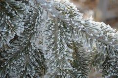 A frozen frosty pine tree branch Stock Image