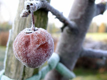 Frozen fruits #02. Big frozen apple from my garden stock image