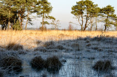 Frozen and gold colored grass. Frozen water and grass in the shadow, gold colored grass in the sun with trees in the background Stock Photo