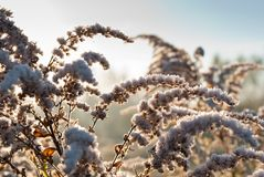 A frozen goldenrod Stock Image