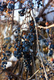 Frozen grapes on a sunny day Stock Images