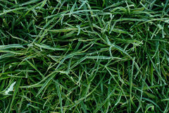 Frozen grass. Close-up of green grass covered with hoar-frost, background Stock Photo