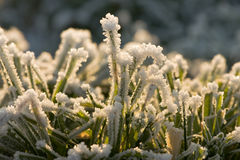 Frozen grass. Details of a frozen grassland where the ice shines in the sunlight Royalty Free Stock Photos