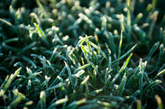Frozen Grass Royalty Free Stock Photography