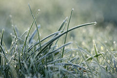 Frozen grass. Grass with white frost in first morning light Stock Photography