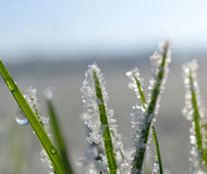 Frozen grass close up. Royalty Free Stock Photo