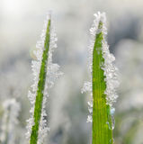 Frozen grass close up. Royalty Free Stock Photos