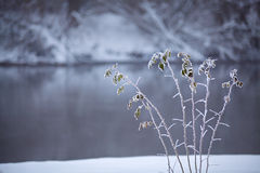 Frozen grass close up on a riverbank. Winter misty cloudy snowy Stock Photo