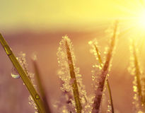 Frozen grass close up at sunrise. Royalty Free Stock Photos