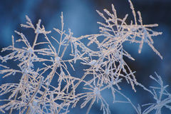 Frozen Grass. Covered with snow on blue background Stock Photo