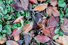 Frozen grass and dry leaves under the frost ice royalty free stock images